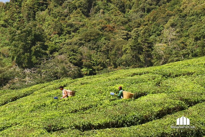 เที่ยวไร่ชา BOH Tea Plantations @ Cameron Highlands