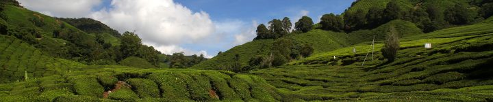 Boh Tea Plantation (Cameron Highlands)